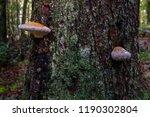 Mushroom On Tree With Dew ...