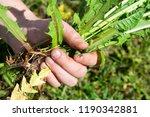 works in the garden. weeding... | Shutterstock . vector #1190342881