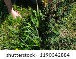 works in the garden. weeding... | Shutterstock . vector #1190342884