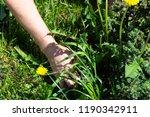 works in the garden. weeding... | Shutterstock . vector #1190342911