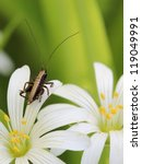 Small photo of small grasshopper on flower of Addersmeat (Stellaria holostea)