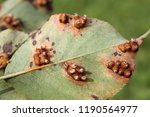 pear leaf with pear rust or... | Shutterstock . vector #1190564977
