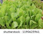 green salad in the market | Shutterstock . vector #1190625961