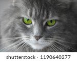 Gray Fluffy Cat With Green Eyes