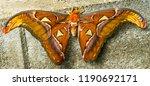 atlas moth attacus atlas moth... | Shutterstock . vector #1190692171