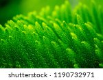 closeup pine tree leaf... | Shutterstock . vector #1190732971