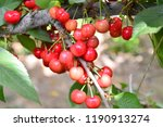 the ripe cherries are on the...   Shutterstock . vector #1190913274