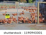 farm chickens are isolated and...   Shutterstock . vector #1190943301