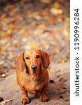 dachshund dog autumn garden  | Shutterstock . vector #1190996284