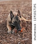 belgian malinois purebred dog ...   Shutterstock . vector #1191017191