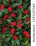 winter and christmas holly... | Shutterstock . vector #1191137164