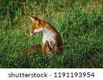 beautiful red fox  vulpes... | Shutterstock . vector #1191193954