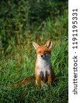 beautiful red fox  vulpes... | Shutterstock . vector #1191195331