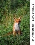 beautiful red fox  vulpes... | Shutterstock . vector #1191195631