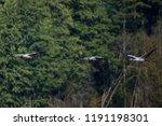08.09.2018. family of common... | Shutterstock . vector #1191198301