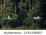 08.09.2018. family of common... | Shutterstock . vector #1191198307