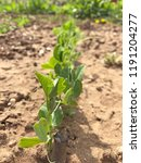 growing pea plant row | Shutterstock . vector #1191204277