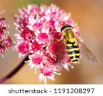 Hover Fly In An English Garden