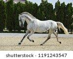 Andalusian Horse Galloping Nea...