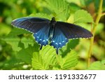 A Pipevine Swallowtail...
