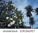 plumeria and frangipani or...   Shutterstock . vector #1191362917