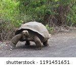 Stock photo giant turtle walking on isla isabela galapagos ecuador 1191451651