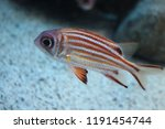 Fish :  Redcoat Squirrelfish (Sargocentron rubrum)