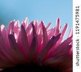 macro background of aster... | Shutterstock . vector #1191475981