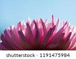 macro background of aster... | Shutterstock . vector #1191475984