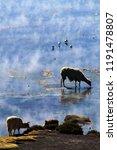 fluffy alpacas drinking in salt ... | Shutterstock . vector #1191478807