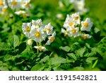 The Potato Flowers Are White ...