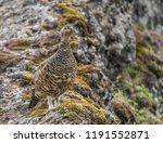 a rock ptarmigan with its... | Shutterstock . vector #1191552871
