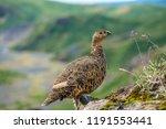 a rock ptarmigan with its... | Shutterstock . vector #1191553441