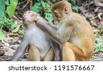 Stock photo monkey cleaning another monkey 1191576667