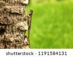 green crested lizard  black... | Shutterstock . vector #1191584131