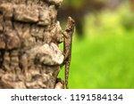 green crested lizard  black... | Shutterstock . vector #1191584134
