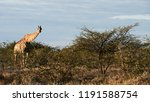 beautiful giraffe  giraffa... | Shutterstock . vector #1191588754