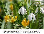 bunch of galanthus nivalis and...   Shutterstock . vector #1191665977