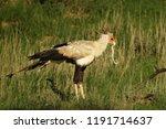 the secretarybird or secretary... | Shutterstock . vector #1191714637