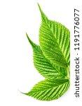 blackberry leaves on white | Shutterstock . vector #1191776077