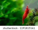 big fire red or cherry dwarf... | Shutterstock . vector #1191815161