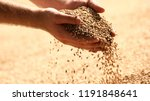 wheat grains in hands at mill... | Shutterstock . vector #1191848641