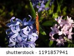 soft focus image of hyacinth...   Shutterstock . vector #1191857941