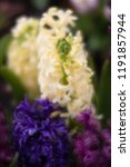 soft focus image of hyacinth...   Shutterstock . vector #1191857944