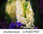 soft focus image of hyacinth...   Shutterstock . vector #1191857947