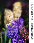 soft focus image of hyacinth...   Shutterstock . vector #1191857971