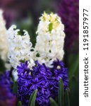 soft focus image of hyacinth...   Shutterstock . vector #1191857977