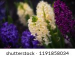soft focus image of hyacinth...   Shutterstock . vector #1191858034