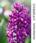 soft focus image of hyacinth...   Shutterstock . vector #1191858121