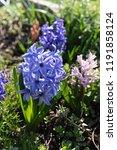 soft focus image of hyacinth...   Shutterstock . vector #1191858124